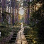 A wooden footpath through a dense forest.